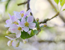 Close On Delicat Flowers Pink And White Blooming In An Apple Tree In Spring