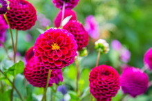 Giverny, Dahlia, Pink, Garden, Flower, Claude Monet, Closeup, Background, Beautiful, Bloom, Blooming, Blooms, Blossom, Botany, Charming, Claude, Color, Colored, Colorful, Dahlia Flower, Dahlias, Daisy