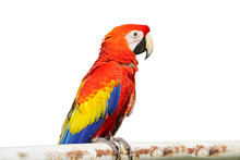 The King Of Parrots Bird Scarl...