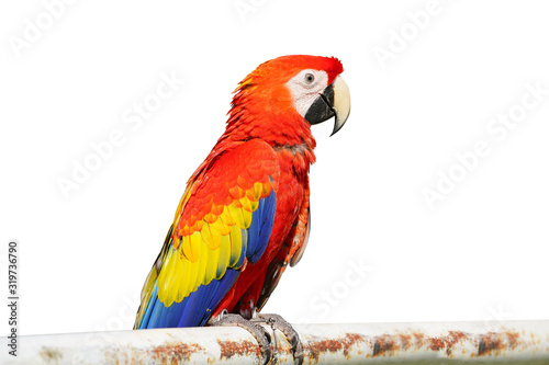 Obraz na plátně The King of parrots bird Scarlet macaw vivid rainbow colorful animal