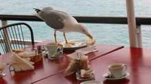 Seagull Feeding At Outdoor Caf...
