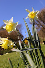 A Close-up Of Yellow Daffodils...