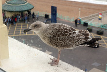 A Young Seagull Waiting On A W...