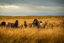 Icelandic Horse In The Middle ...