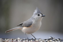 Close-Up Of Tufted Titmouse On...