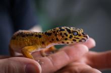 Leopard Gecko (eublepharis Macularius) Held In Hand