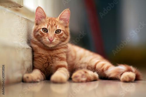 Obraz na plátně Portrait Of Ginger Cat Relaxing Indoors