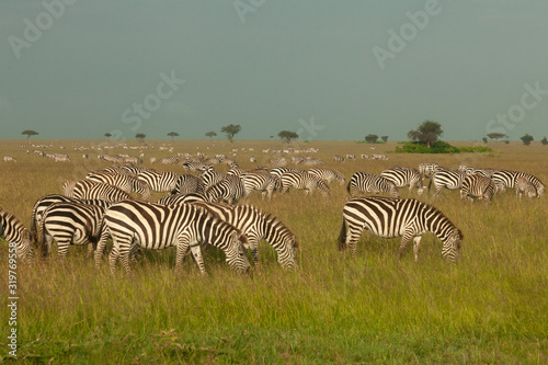 herd of zebras on the savannah Canvas Print