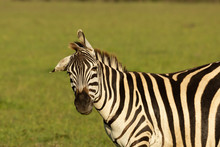 Young Zebra On The Savannah