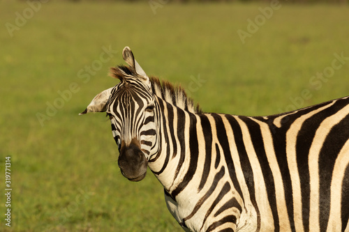 young zebra on the savannah Canvas Print
