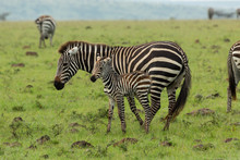 Mother Zebra And Foal On The S...
