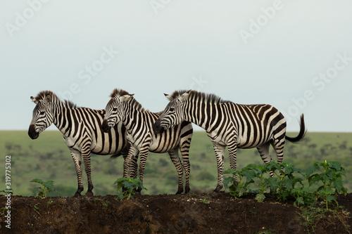 Photo zebra on the savannah