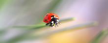 Macro Red Ladybug Nature Blur Background.