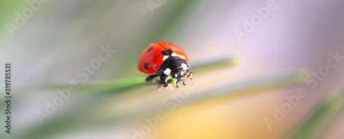 Macro red Ladybug nature blur background. Tableau sur Toile