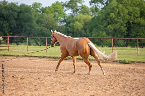 Fototapeta Palomino Horse
