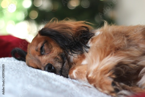 Fototapety, obrazy: Brown Dog Sleeping On Bed At Home