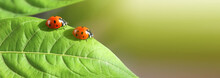 Macro Red Two Ladybug On Leaf. Nature Horizontal Background.