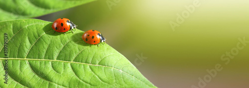 Obraz na plátne Macro red two Ladybug on leaf. Nature horizontal background.