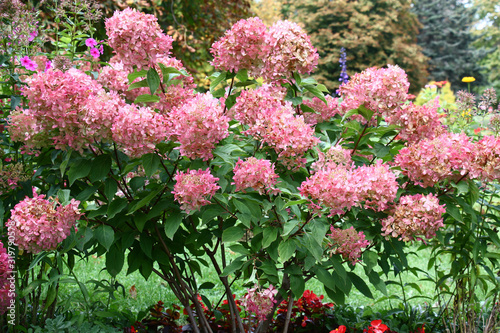 Bush of a hydrangea paniculata during flowering are a garden ornament Tableau sur Toile