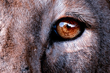 Eye Of Lion