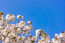 Apple Blossoms In Spring On Th...
