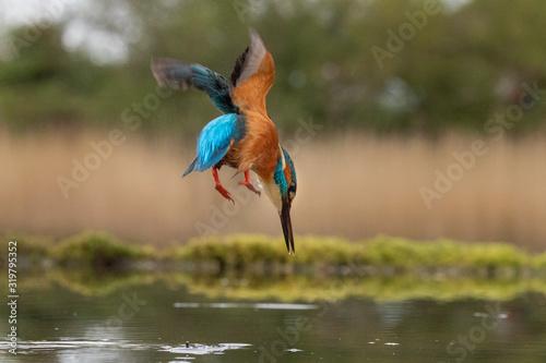 Obraz na plátně Kingfisher Hunting Fish In Lake