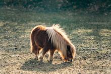 Shetland Pony Grazing On A Gre...