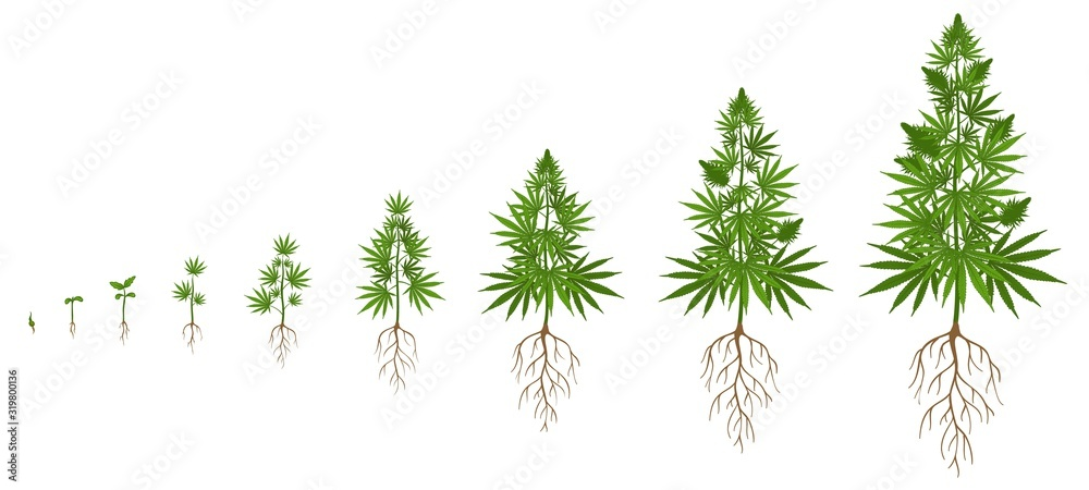 Fototapeta Hemp plant growth cycle. Cannabis cultivation, planting marijuana seeds and hemps plants stages of growth vector illustration. Ganja life development or vegetation steps - sprout, seedling, bloom.