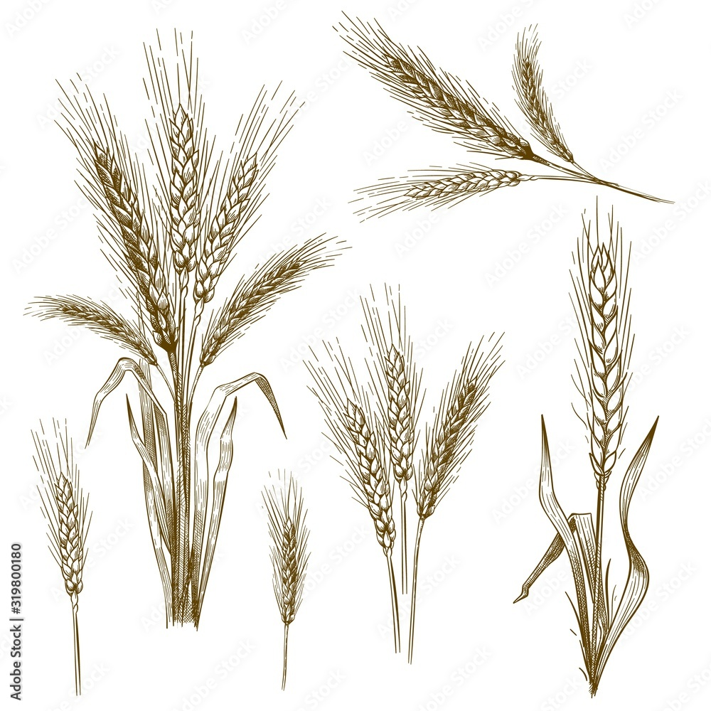 Obraz Hand drawn wheat ear. Sketch grain, wheat spikes and bakery grains vector illustration set. Collection of monochrome drawings of cultivated cereal plants, natural organic food crops in vintage style. fototapeta, plakat