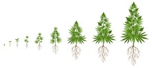 Hemp Plant Growth Cycle. Cannabis Cultivation, Planting Marijuana Seeds And Hemps Plants Stages Of Growth Vector Illustration. Ganja Life Development Or Vegetation Steps - Sprout, Seedling, Bloom.