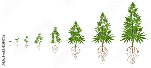 Obraz Hemp plant growth cycle. Cannabis cultivation, planting marijuana seeds and hemps plants stages of growth vector illustration. Ganja life development or vegetation steps - sprout, seedling, bloom. - fototapety do salonu