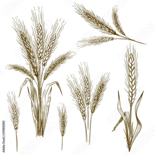 Fototapeta Hand drawn wheat ear. Sketch grain, wheat spikes and bakery grains vector illustration set. Collection of monochrome drawings of cultivated cereal plants, natural organic food crops in vintage style. obraz