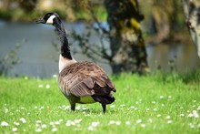 Canada Goose On Grassy Field