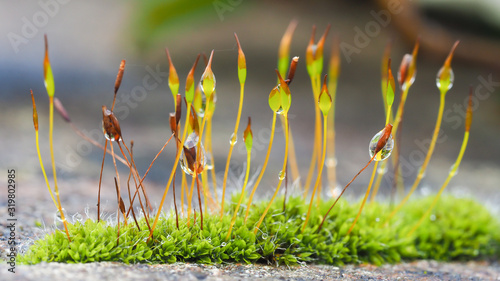 Fototapeta Extreme closeup of moss flowers with selective focusing. obraz