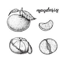 Mandarin Hand Drawn Sketch, Vector Illustration. Mandarin Slices.