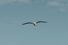Far Away Seagull In Flight With The Blue Sky And Clouds On The Background On A Sunny Day In The Afternoon