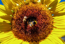 Disk Florets Of A Sunflower Wi...