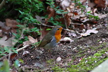 Red Breasted Robin In Forest