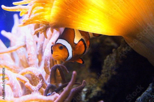 Fotografia, Obraz Close-Up Of Clown Fish Swimming In Fish Tank