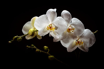Fototapeta na wymiar A sprig of white orchid with buds on a black background.