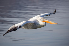 Dalmatian Pelican From Kerkini...