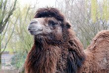 Low Angle View Of Hairy Camel