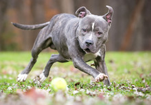 A Blue Brindle And White Pit B...
