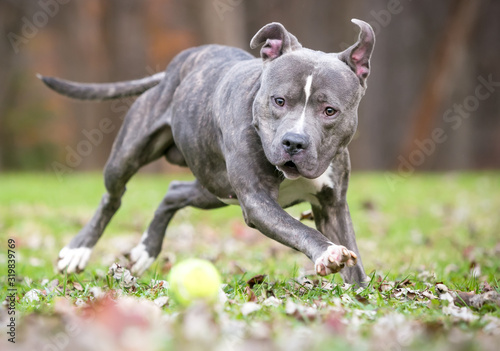 Photo A blue brindle and white Pit Bull Terrier mixed breed dog chasing a ball outdoor