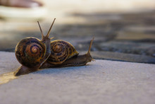 Close-Up Of Snails Mating On Footpath