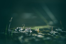 Frog On Green Pond