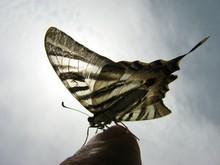 Cropped Hand Holding Scarce Swallowtail Against Sky