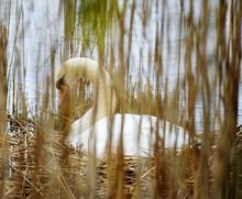 Swan In Nest