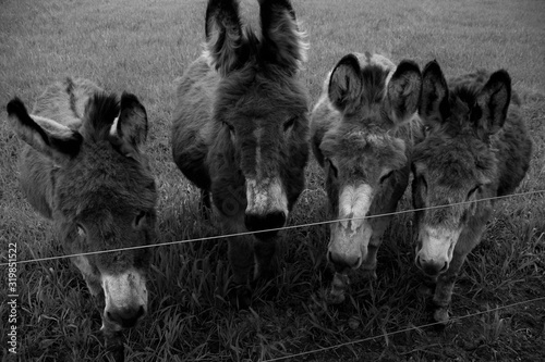 Fotografia, Obraz Donkeys In Pen