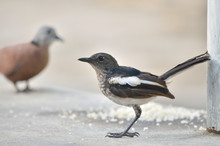 Close-Up Of Oriental Magpie Robin And Turtle Dove On Wall